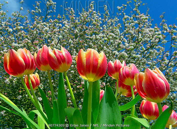 Cultivated tulips (Tulipa) with Apple blossom (Malus domestica) in background. April. England, UK.