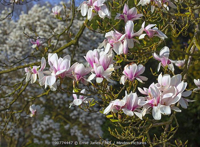 Minden Pictures Stock Photos Magnolia Tree In Flower Magnolia