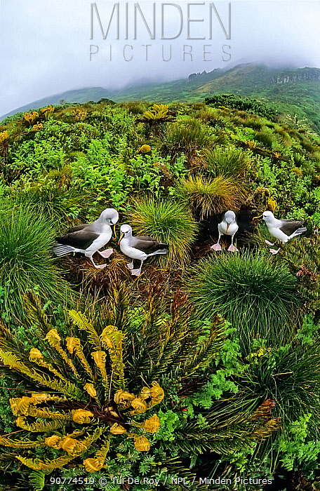Atlantic yellow-nosed albatross (Thalassarche chlororhynchos) nesting amiongst Tree ferns (Blechnum palmiforme) Gough Island, Gough and Inaccessible Islands UNESCO World Heritage Site, South Atlantic.