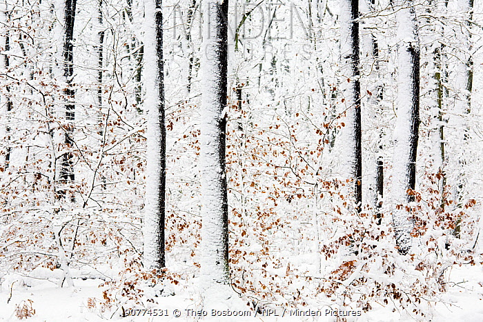 Beech trees (Fagus sp) after a heavy snowstorm, Rozendaalse bos, the Netherlands, November