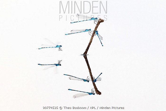 Common blue damselflies (Enallagma cyathigerum) flying over the water to rest on plant stem, in a fen, Hondeven, Holland, July