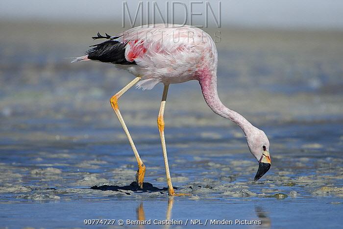 Andean flamingo (Phoenicoparrus andinus) feeding on shore Laguna Hedionda, Altiplano, Bolivia