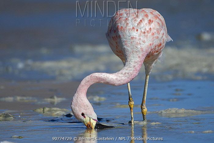 Andean flamingo (Phoenicoparrus andinus) feeding on shore, Laguna Hedionda,  Altiplano, Bolivia