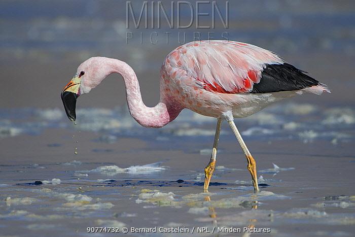 Andean flamingo (Phoenicoparrus andinus) foraging on the shore of Laguna Hedionda,   Altiplano, Bolivia
