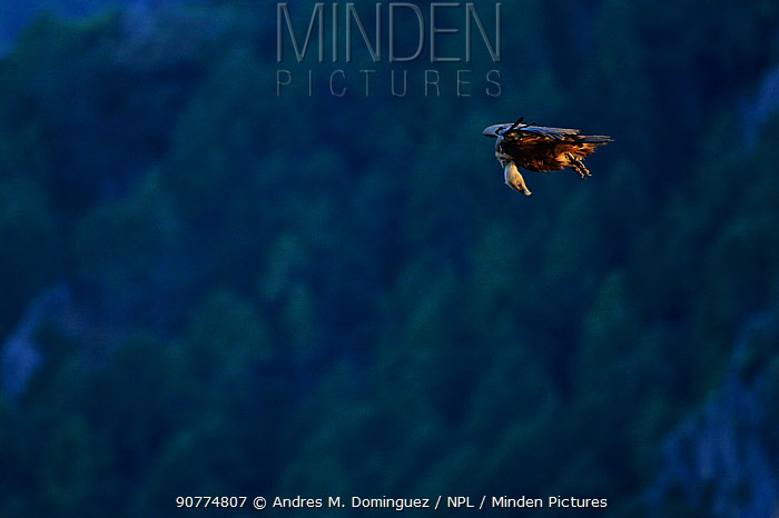 Griffon vulture (gyps fulvus in flight)  Andalusia, Spain, May