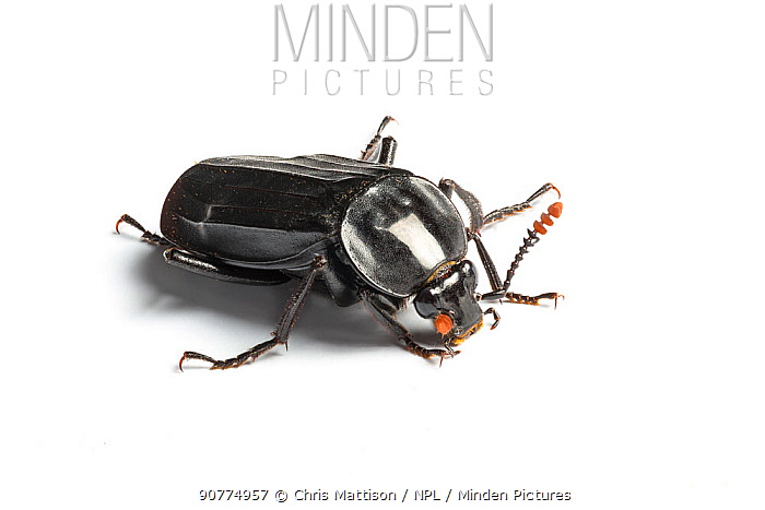 Black carrion beetle (Necrodes littoralis) on white background  Catbrook, Monmouthshire, Wales, UK, June. Focus-stacked image.