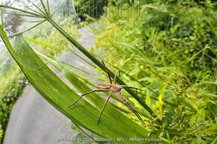 Nursery web spider (Pisaura mirabilis)  guarding nest of spiderlings. Tintern, Monmouthshire, Wales, June.