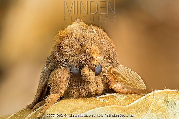 Drinker moth (Euthrix potatoria)  Monmouthshire, Wales, UK.July