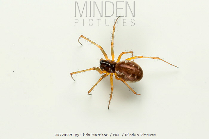 Sheetweb spider (Linyphia hortensis) on white background  Monmouthshire, Wales, UK, April.
