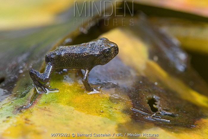 Common frog (Rana temporaria) froglet on the discoloured waterlily pad. Brasschaat, Belgium