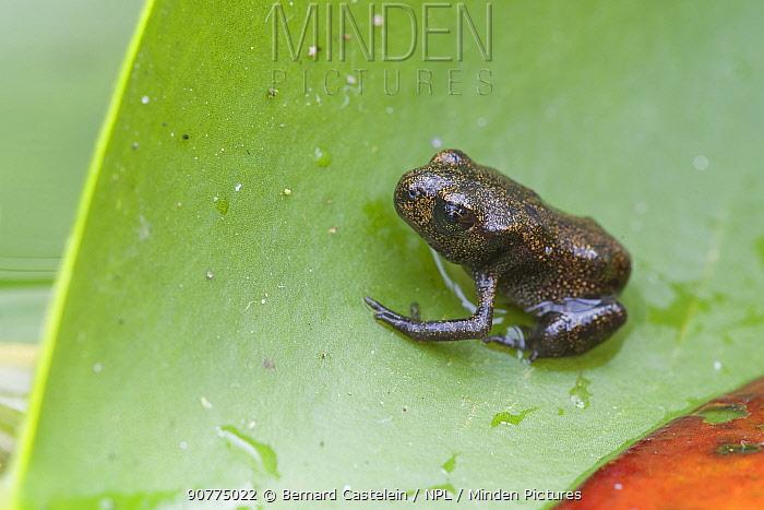Common frog (Rana temporaria) froglet on leaf, Brasschaat, Belgium