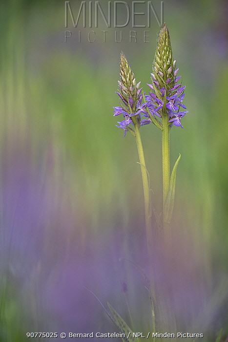 Southern marsh-orchid (Dactylorhiza praetermissa) Groot Schietveld, Wuustwezel, Belgium