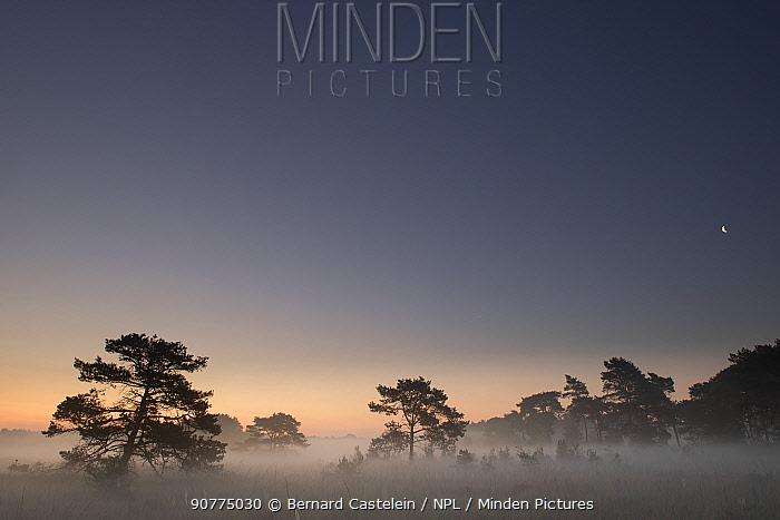 Scot's pine trees (Pinus sylvestris) in mist at sunrise, Klein Schietveld, Brasschaat, Belgium, June 2017.