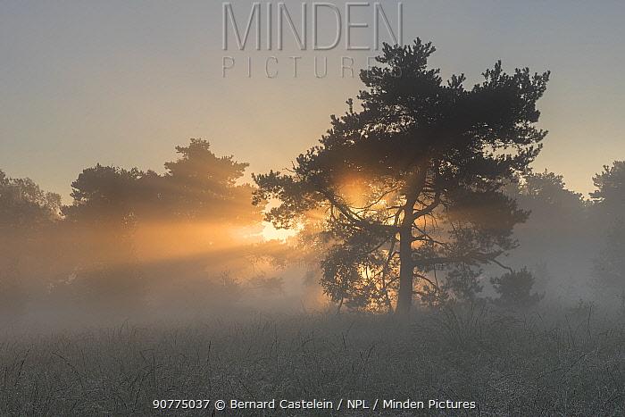 Scot's pine tree (Pinus sylvestris) at sunrise, Klein Schietveld, Brasschaat, Belgium, August.