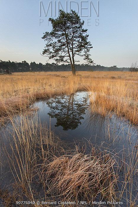 Scot's pine tree (Pinus sylvestris) reflected in pool, Klein Schietveld, Brasschaat, Belgium, March.