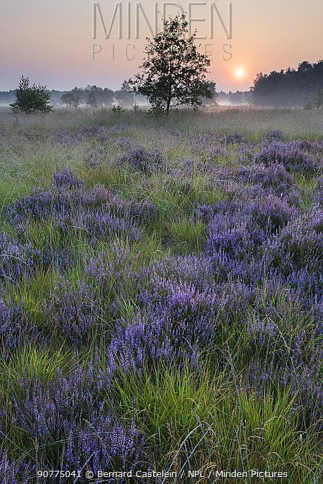 Common heather (Caluna vulgaris) heathland at sunrise, Klein Schietveld, Brasschaat, Belgium, August.