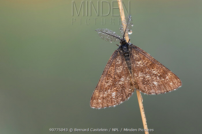 Common heath moth (Ematurga atomaria) male, Klein Schietveld, Brasschaat, Belgium, June.