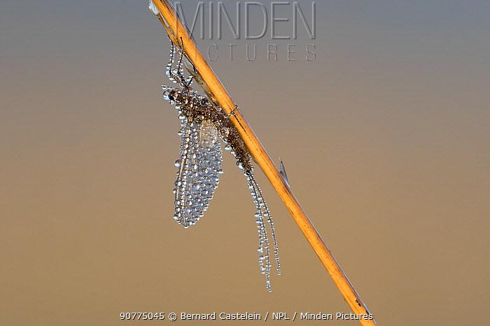 Mayfly (Ephemeroptera) dew covered, Klein Schietveld, Brasschaat, Belgium, April.
