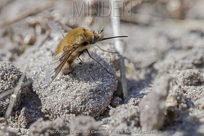 Beefly (Bombyllus major) on sand, Klein Schietveld, Brasschaat, Belgium, March.