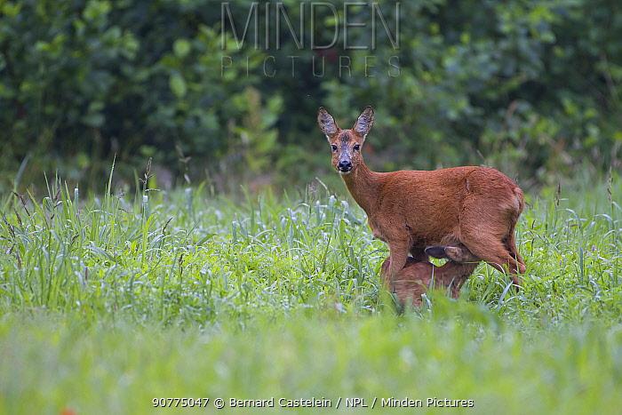 Roe deer (Capreolus capreolus) doe with suckling fawn,  Peerdsbos, Brasschaat, Belgium, July.