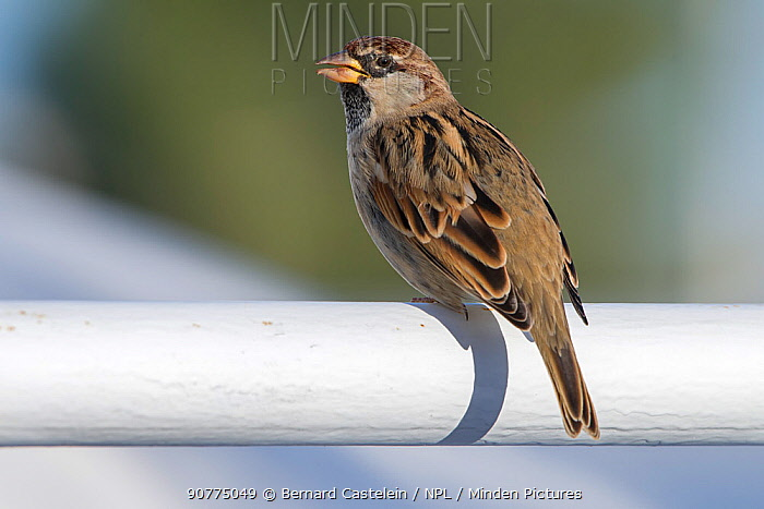 Spanish sparrow (Passer hispaniolensis) perched, Djerba, Tunisia