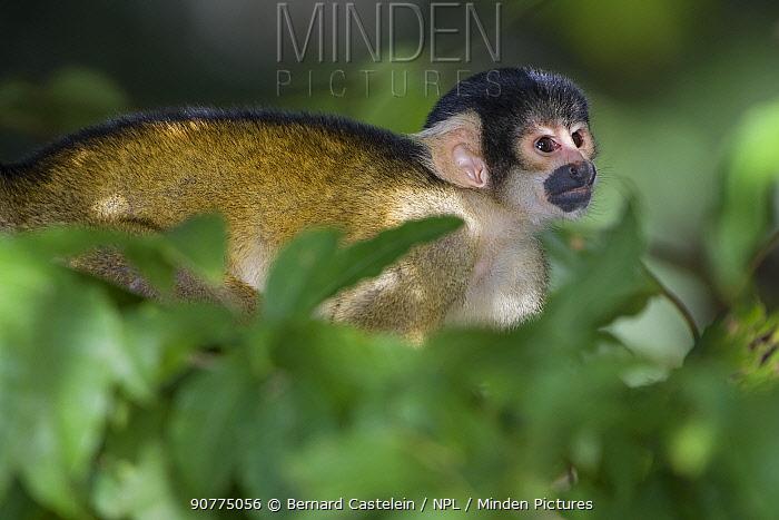 Black-capped squirrel monkey (Saimiri boliviensis peruviensis) in tree,  Madidi National Park, Bolivia