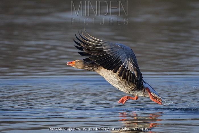 Greylag Goose (Anser anser)  Antwerpen, Belgium, February.