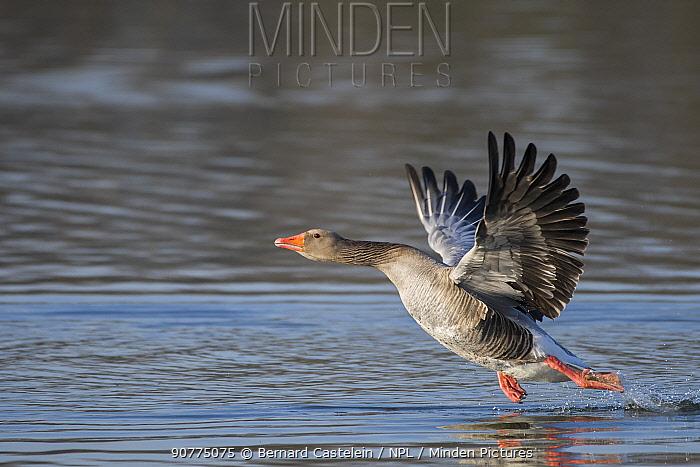 Greylag Goose (Anser anser) taking off from water, Antwerpen, Belgium, February.
