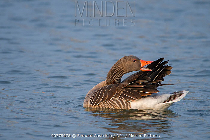 Greylag Goose (Anser anser)  preening wings Antwerpen, Belgium, March.