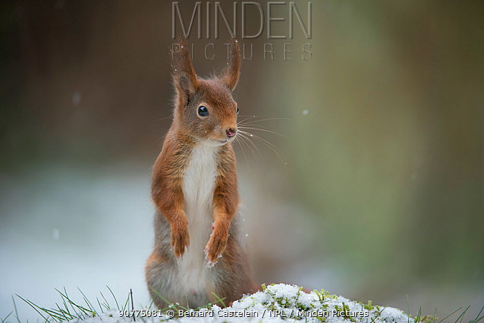 Red squirrel (Sciurus vulgaris) standing on hind legs, Brasschaat, Belgium, February.