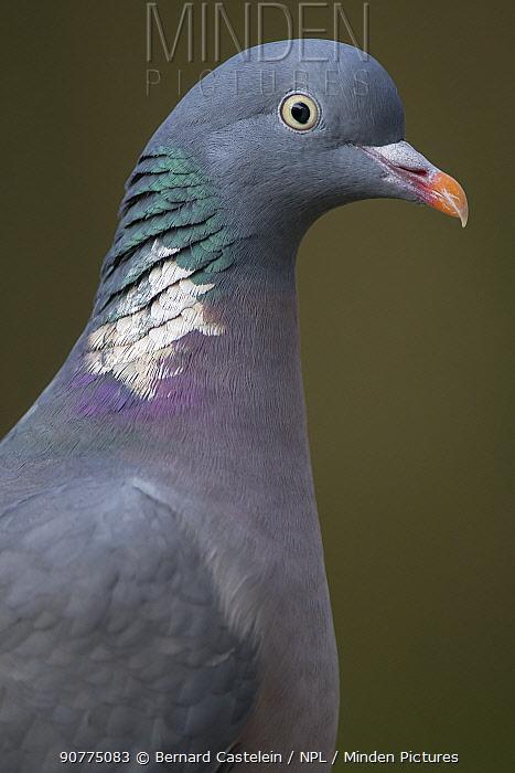 Wood Pigeon (Columba palumbus) Brasschaat, Belgium, January.