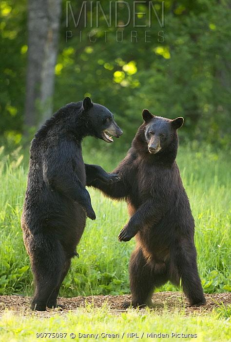 Black bears (Ursus americanus) standing on back legs, fighting, Minnesota, USA, June.