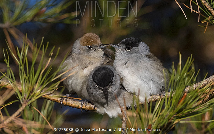 Blackcap (Sylvia atricapilla) female and two males huddling together for warmth before going to sleep, Finland, May.