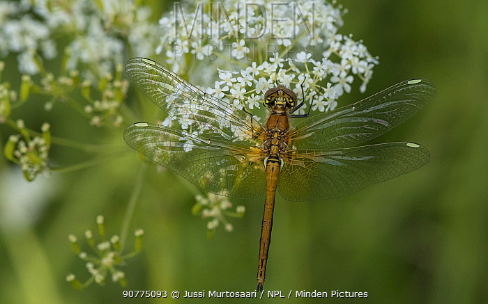 Yellow-winged darter (Sympetrum flaveolum), newly emerged male with white wing spots, Finland, July.