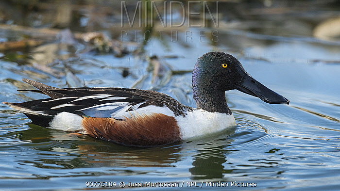 Northern shovelers (Anas clypeata), adult male, Finland, May.