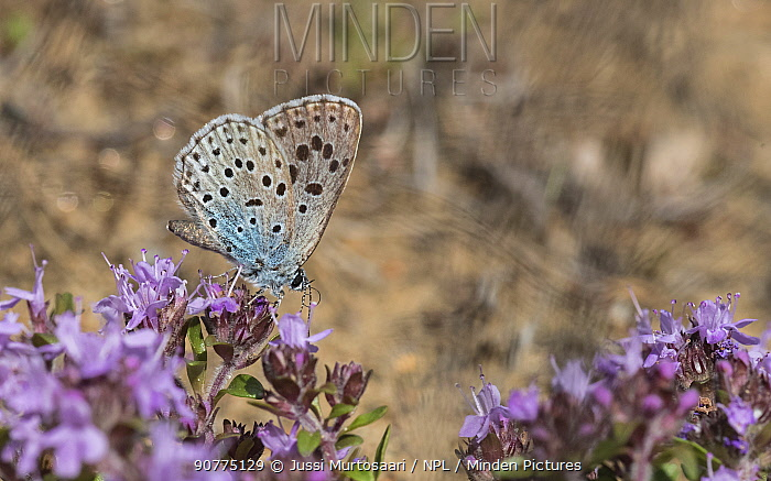 Large blue butterfly (Maculinea arion), feeding from Creeping Thyme (Thymus serpyllum), Finland, July.