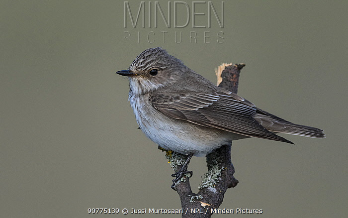 Spotted flycatcher (Muscicapa striata), Finland, May.