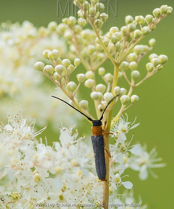 Twin spot longhorn beetle (Oberea oculata), on Meadowsweet (Filipendula ulmaria), Finland, July.