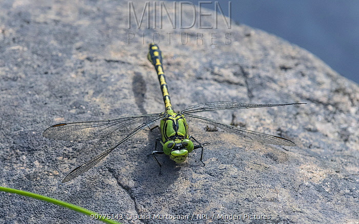 Green snaketail dragonfly (Ophiogomphus cecilia), male, Finland, August.