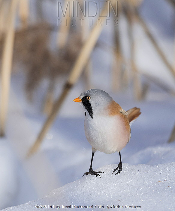 Bearded reedling / tit (Panurus biarmicus), male, Finland, March.