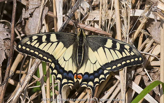 Swallowtail butterfly (Papilio machaon), Finland, June.