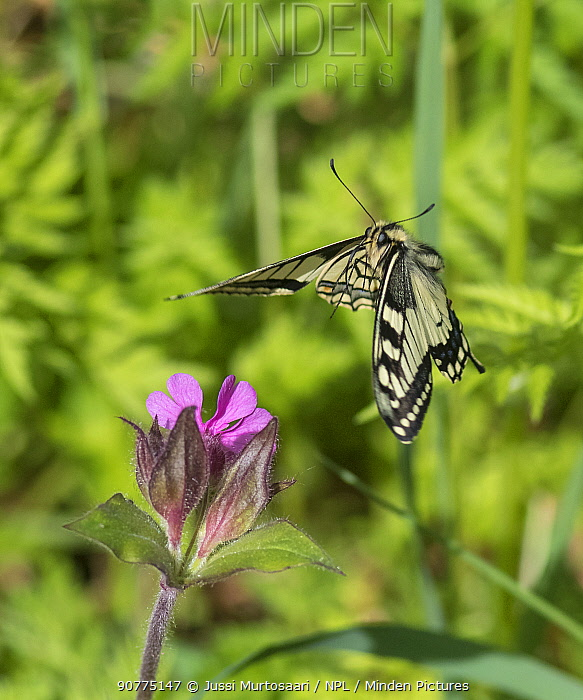 Swallowtail butterfly (Papilio machaon) flying to red campion with proboscis extended, Finland, June.