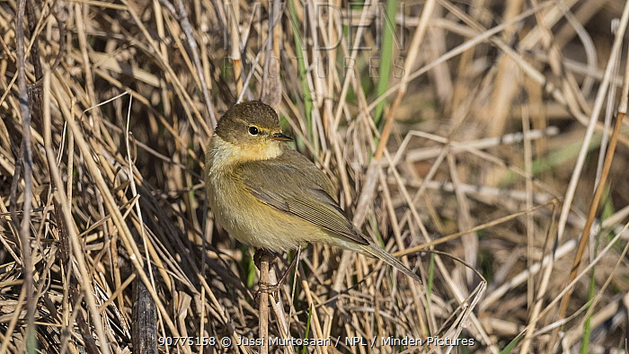 Common chiffchaff (Phylloscopus collybita), adult in spring, Finland, April.