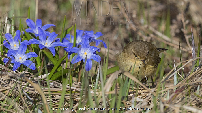 Common Chiffchaff (Phylloscopus collybita), adult with wildflowers, Finland, April.