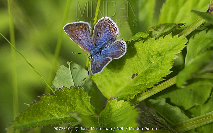 Common blue butterfly (Plebeius icarus), female, Finland, July.