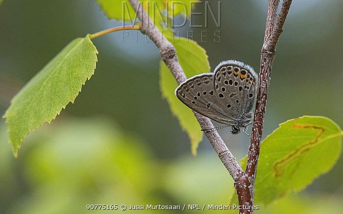 Cranberry blue butterfly (Plebeius optilete), male, Finland, July.