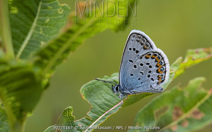 Silver-studded blue butterfly (Plebejus argus), male, Finland, July.