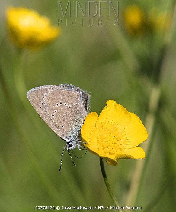 Mazarine blue butterfly (Polyommatus semiargus), female, Finland, June.