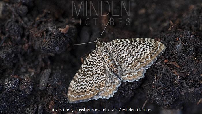 Scallop shell (Rheumaptera undulata) Finland, June.