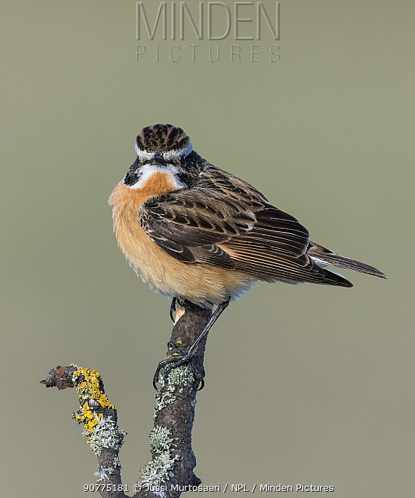 Whinchat (Saxicola rubetra), male perched,  Finland, May.